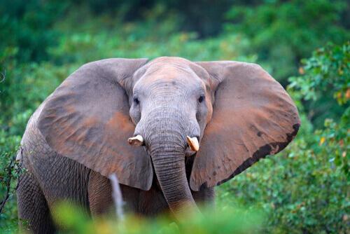Gli elefanti della foresta, i guardiani degli alberi