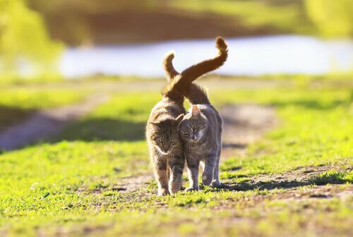 Gatti con le code alzate che camminano all'aperto.