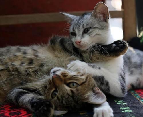 Come far conoscere due gatti in sicurezza