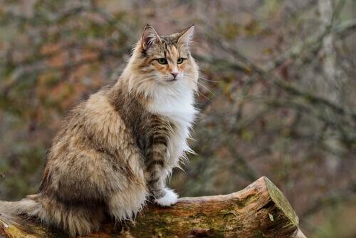 Gatto delle foreste norvegesi e Maine Coon: quali sono le differenze?