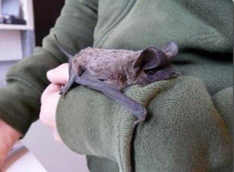 Uomo si prende cura di un pipistrello in cattività.