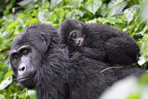 Una famiglia di gorilla è più complessa di quanto può sembrare