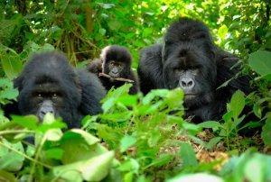 Famiglia di gorilla nella foresta.