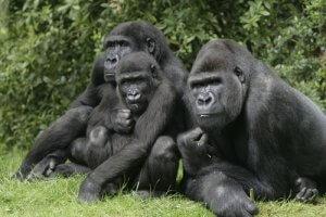 Gruppo di gorilla.