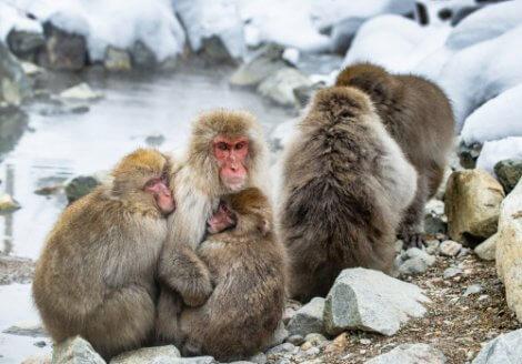 Gruppo di macachi giapponesi.