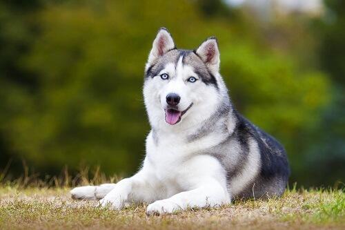 L'Husky Siberiano è un cane nervoso.