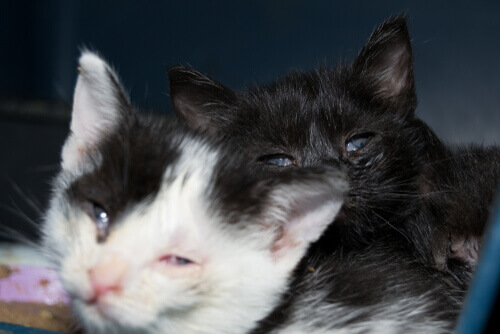 Gatti con infiammazione agli occhi.