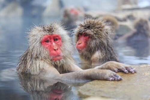 Perché i macachi giapponesi hanno la faccia rossa?