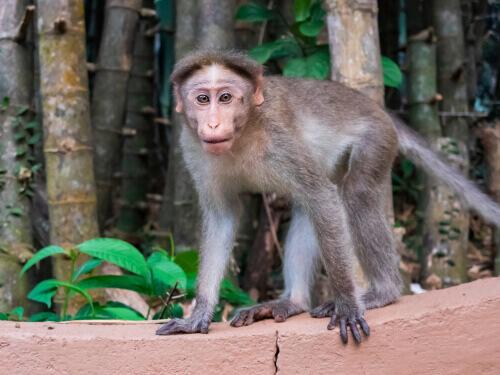 Macaco dal berretto indiano: un primate sotto minaccia