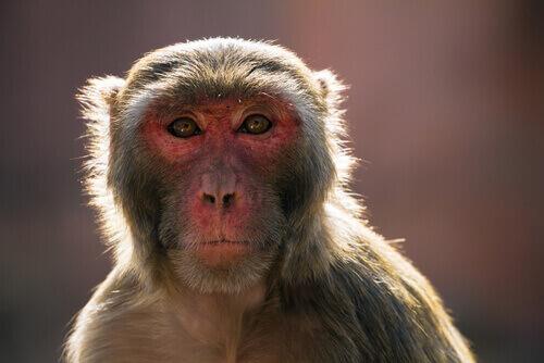 Macaco Rhesus, primo piano.