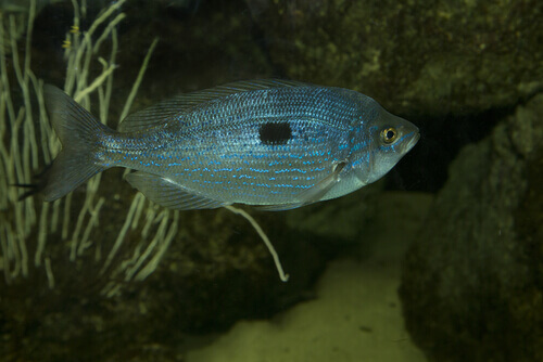 La Menola: un pesce che vive nei fondali rocciosi