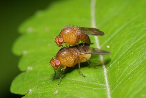 Accoppiamento mosca mediterranea della frutta.