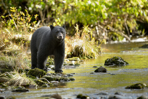 Un orso bruno ucciso negli Stati Uniti per colpa dei turisti