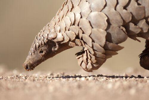 Pangolino: perché è il mammifero più trafficato al mondo?