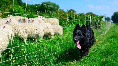 Cane che corre vicino a un gregge di pecore.