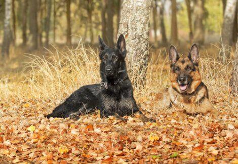 Pastore tedesco nero: coppia di pastori tedeschi.