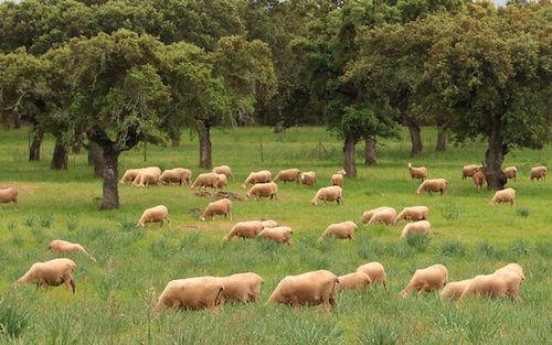 Pecore che pascolano.
