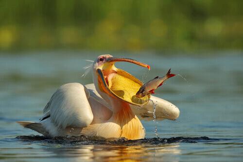 Pellicano comune che caccia un pesce per nutrirsi.