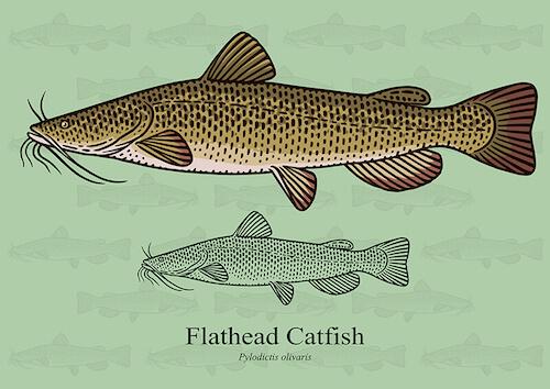 Pesce gatto a testa piatta. Flathead Catfish.