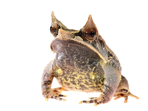 Rana cornuta asiatica: la famosa rana foglia