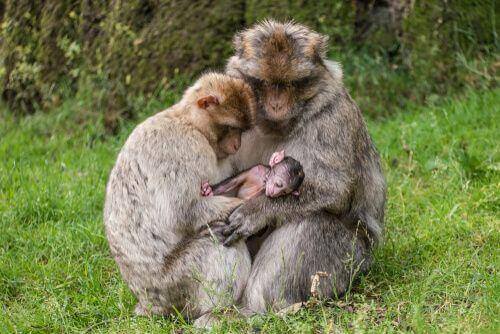 Alcune scimmie adottano un piccolo.
