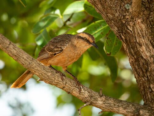 Tordo beffeggiatore, l'uccello che imita il canto delle altre specie