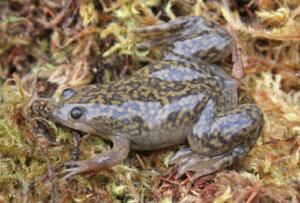 Xenopus: le rane carnivore che ci aiutano nella ricerca