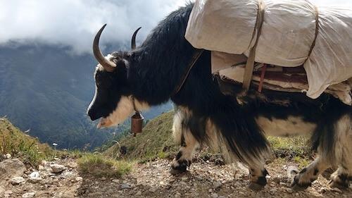Bue tibetano che trasporta un carico lungo i sentieri di montagna.
