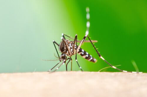 Zanzara tigre trasmette la chikungunya.