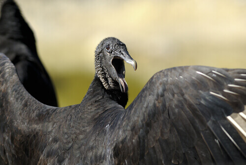 Avvoltoio con il becco aperto.