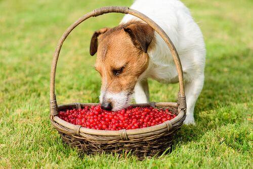 Bacche di goji per cani: quali sono i benefici?