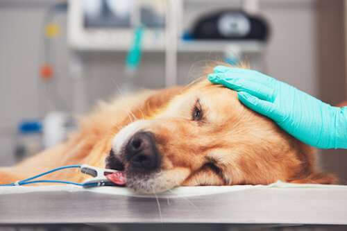 Il cancro nei Golden retriever: un problema emergente