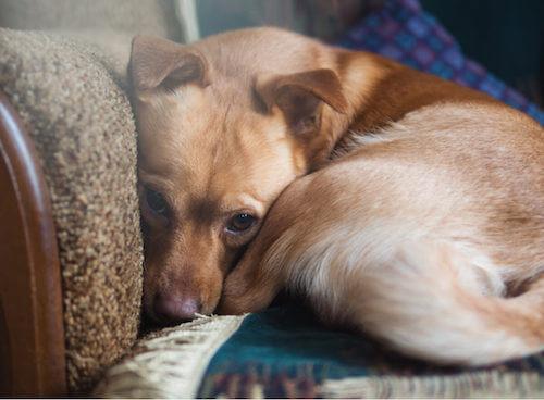 Cane ansioso rannicchiato sulla poltrona.