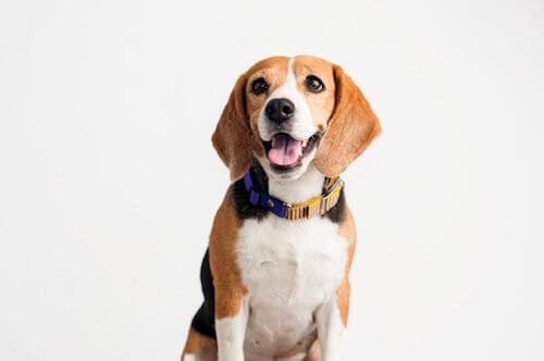 Epilessia nei beagle: qual è la causa?