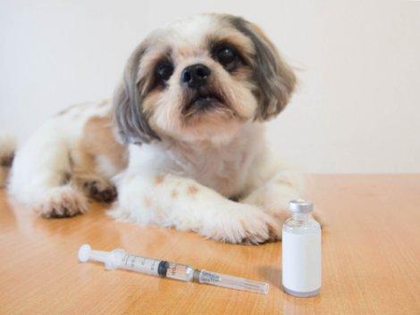 Predisposizione dei cani al diabete: cane con dose di insulina.