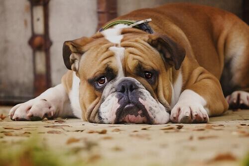 Perché i cani sono maggiormente predisposti a soffrire di diabete?