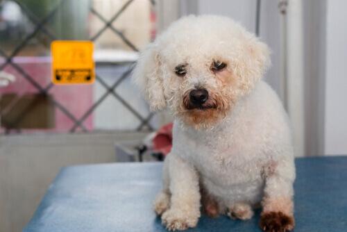 La dermatite da Malassezia nei cani