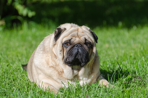 Immagine di un cane obeso.