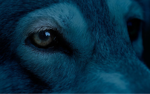 Cane con il pelo blu.