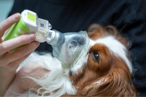 Come trattare l'edema polmonare nei cani?