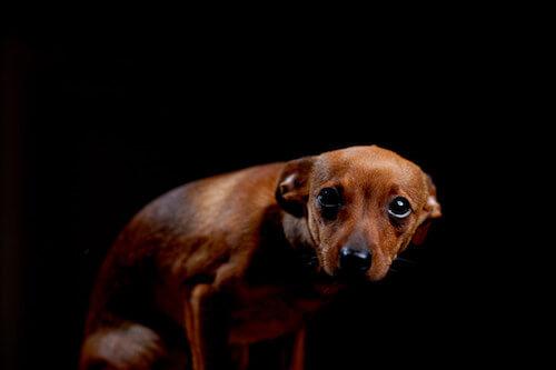 Linguaggio del corpo nei cani. Cane con orecchie abbassate all'indietro.