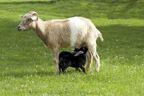 Capra mentre allatta un capretto.