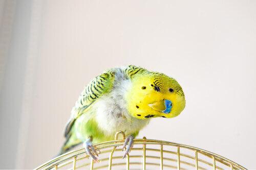 Cocorito giallo.