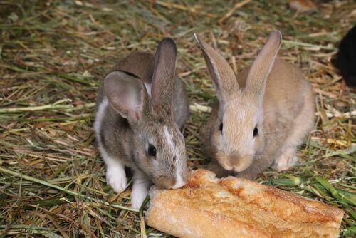 I conigli possono mangiare il pane?