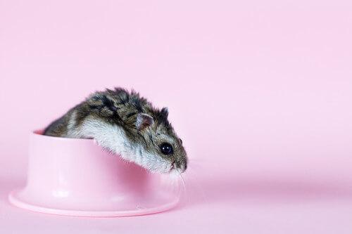 Un criceto nano esce da una mangiatoia.