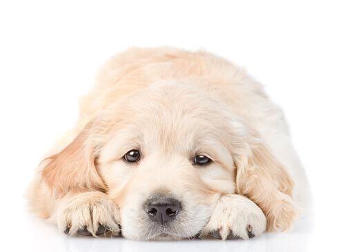 Indigestione nel cane causa malessere.