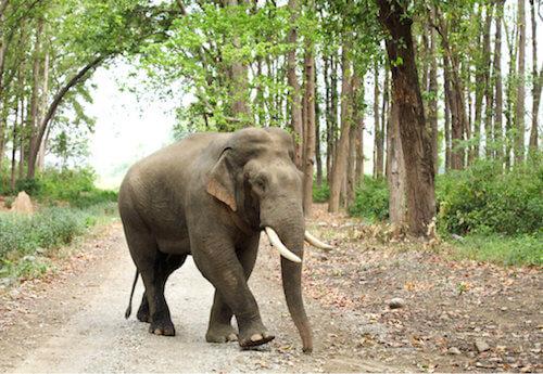 Elefanti asiatici: tipi e caratteristiche dei giganti gentili