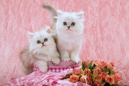 Cuccioli di gatto con mantello bianco e marrone.