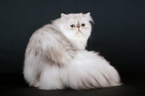 Il gatto persiano: quali sono le sue origini?