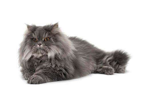Gatto persiano con mantello grigio.